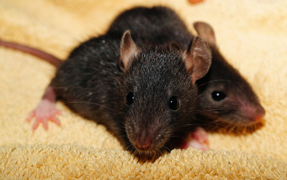 Image: Study finds Burgers contain rat and human DNA (Audio)