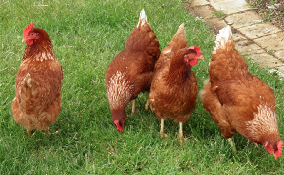 Image: Homesteading – 4 things you didn't know about chickens (Video)