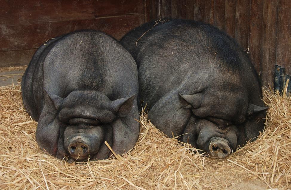 Image: US scientists bid to grow human organ inside pigs (Video)