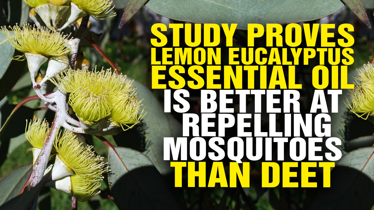 Image: Study Proves Lemon Eucalyptus Essential Oil Is Better at Repelling Mosquitoes Than DEET (Video)