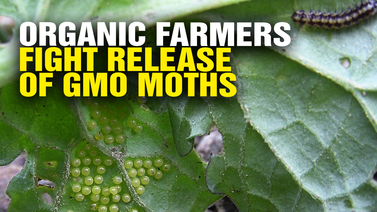 Image: Organic Farmers Fight Release of GMO Moths (Video)