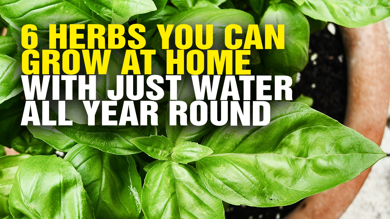 6 herbs you can grow at home with just water all year round video. Black Bedroom Furniture Sets. Home Design Ideas